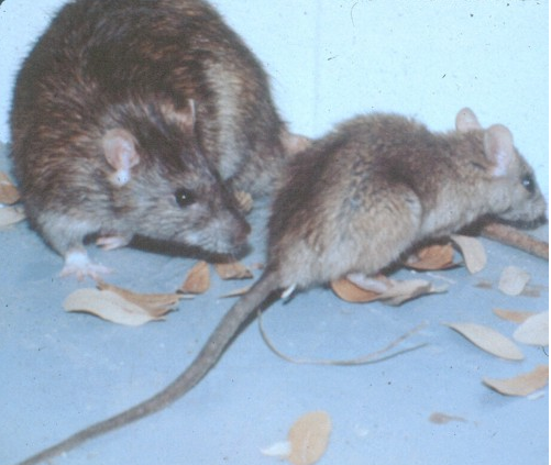 Rodent_RoofRat