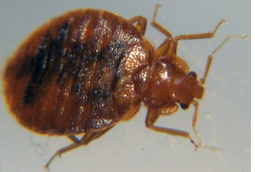 Clark treats bed bugs like this one.