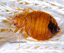 Bed Bugs Pests Commercial Pest Services