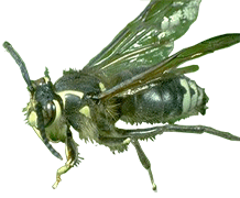 Wasp_Bald-Faced-Hornet