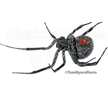 Western-Black-Widow