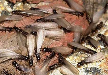 termite-insects